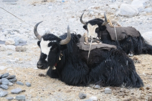 Yaks Beautiful Vital Beings