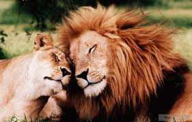 Even lions fall in love